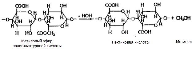 Пектиновые вещества при разваривании гидролизуются с образованием метанола